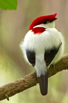 There are 779 Araripe Manakins birds that live in Brazil. They have suffered from habitat destruction due to expansion of agriculture and recreational facilities.