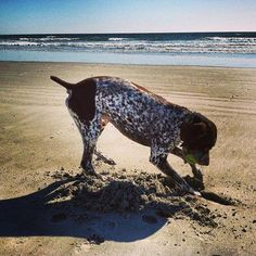 10 Things Only a German Shorthaired Pointer Owner Would Understand – American Kennel Club Pointer Puppies, Pointer Dog, Dogs And Puppies, Doggies, And So It Begins, Dog Activities, German Shorthaired Pointer, Hunting Dogs, German Shepherd Dogs