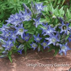 "A wonderful hybrid mix between a CO native and an Asian species, these plants have fantastic deep blue, tubular flowers in late summer. With good hybrid vigor, these are easy-to-grow. 6"" x 6-8"" wide 