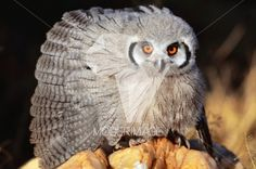 Mocho/Owl by Filipe Condado – Moderimage