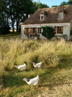 Brown farm house with tall grass + white chickens