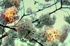 Cherry Blossoms Atlanta