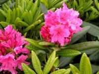 Haaga Rhododendron 3 ft tall only