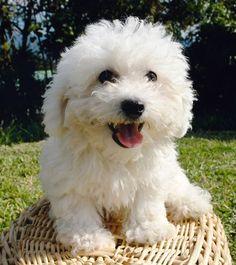 Kleiner Hund Bichon Frise