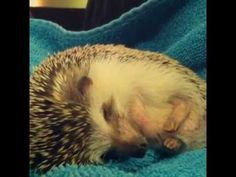 This is Henry dreaming. Cutest. Hedgehog. Ever. | Ever Seen A Dreaming Hedgehog?