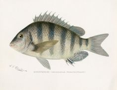 Denton Fish Prints 1895