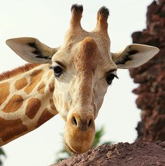 Shop for giraffe art from the world's greatest living artists. All giraffe artwork ships within 48 hours and includes a money-back guarantee. Choose your favorite giraffe designs and purchase them as wall art, home decor, phone cases, tote bags, and more! Zoo Animals, Animals And Pets, Sumatran Orangutan, Baby Gorillas, Wood Craft Patterns, Candy Paint, Giraffe Art, Greatest Mysteries, Types Of Animals