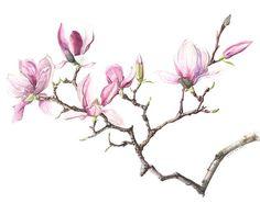 Ku-mie Kim. Stunning Magnolia Acrylic Flowers, Watercolor Flowers, Watercolor Paintings, Illustration Blume, Botanical Illustration, Geisha Art, Rosa Pink, Magnolia Flower, Sketch Painting