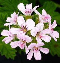 Attar of Roses Scented Pelargonium