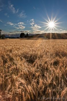 "Photo of the Day - July ""Wheat Fields,"" North Plains, Oregon. Copyrights belong to the photographer: Lloyd Edwards. Beautiful Landscapes, Beautiful Images, Fields Of Gold, Wheat Fields, Field Of Dreams, Felder, Science And Nature, Country Life, Mother Nature"