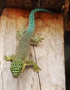 Standing's Day Gecko, Phelsuma standingi
