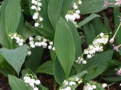 Lilies of the valley ( Convallaria majalis ) are actually rhizomes with buds (pips), rather than true bulbs. But they bloom in early spring and naturalize easily, like many spring bulbs. Better still, deer dislike them. The flowers have a sweet scent, but all parts of the plants are poisonous.