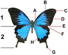Vlinders - Wikipedia