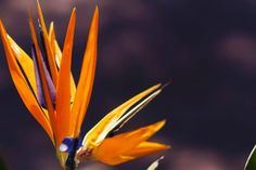 Bird of Paradise plant is easy to care. Strelitzia is an outdoor flowering plant. Outdoor Flowering Plants, Strelitzia Plant, Birds Of Paradise Plant, Plant Health, Types Of Soil, Plant Care, Flower Making, Evergreen, Planting Flowers
