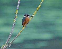 Kingfisher at sunrise by Erik Veldkamp on 500px