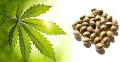 RECEPT NA KONOPNÉ MLÉKO Home Remedies, Natural Remedies, Healing Herbs, Cannabis, Medicine, Fruit, Health, Apothecary, Hemp