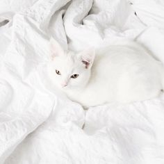 white cat and white blanket.