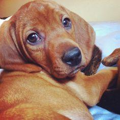 Redbone Coonhound Puppy I love getting this look :)