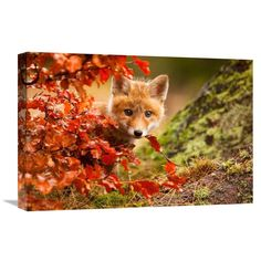 Global Gallery Robert Adamec 'Fox' Stretched Canvas Artwork