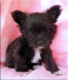 chihuahua mixed with maltese | the life & times of jayteewo.: I want Wednesday.