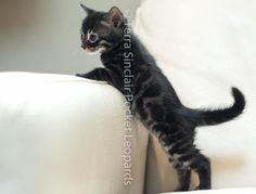 charcoal spotted rosetted bengal kitten charcoal kittens for sale sacramento CA