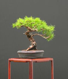 European Larch (Larix decidua)  Height: 18 cm, 7.09 inches  Pot: Ian Bailly  Categories: Best Overall Shohin Bonsai and Best European Shohin Bonsai.  Artist: Walter Pall