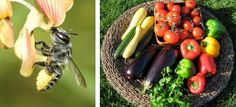 Raise gentle Mason Bees to help pollinate your garden | Crown Bees