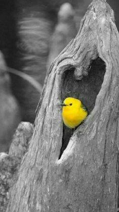 Splash of color! Yellow Photography, Splash Photography, Black And White Photography, Animal Photography, Beautiful Birds, Animals Beautiful, Color Splash Photo, Foto Gif, Cute Birds