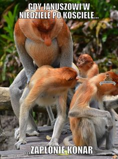 an abundance of animals — Proboscis monkey Ape Monkey, Primates, Ocean Life, Best Memes, Funny Cats, Haha, Wildlife, Animals, Abundance