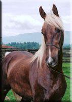 Palomino American Saddlebreds For Sale at Antigo American Saddlebreds