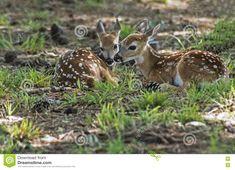 Due Cerbiatti Dei Cervi Dalla Coda Bianca Che Risiedono Nell'erba Verde Immagine Stock - Immagine di erba, cervi: 74160331