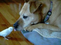 Budgie / Parakeet and Dog Play Together! Ticket is a Pitbull Mix.