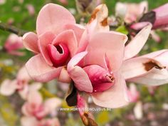 Magnolia 'Pink Charm'