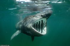 This image of an angry-looking basking shark was taken off the coast of Scotland...