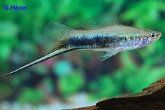 Tropical Aquarium, Tropical Fish, Aquascaping, Swordtail Fish, Underwater House, Freshwater Aquarium Fish, Fishing Life, Exotic Fish, Aquatic Plants