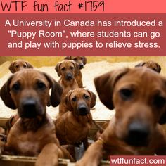 """""""Puppy Room"""" for students in a University in Canada-WTF fun facts: Win-Win situation helps w/ puppy training and reliving stress :D"""