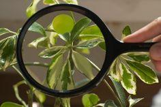 Šeflera je dekoratívna rastlina, ktorá nie je náročná na pestovanie. Vo svojom prirodzenom prostredí dorastá do výšky až 40 m. Chceli by ste si ju rozmnožiť a neviete ako? Jednou z možností je metóda zakoreňovania na materskej rastline.
