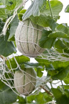 Container Grown Cantaloupe: Care Of Cantaloupe In Pots - Can I grow cantaloupes in a container garden? This is a common question, and space-challenged melon lovers are happy to learn that the answer is a resounding yes, you can grow cantaloupe in pots wit Growing Cantaloupe, Growing Melons, Growing Plants, Growing Vegetables, How To Grow Cantaloupe, Home Vegetable Garden, Fruit Garden, Edible Garden, Gardens