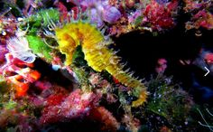 Long-snouted seahorse - by Toni Rubio #Seahorse