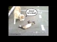 cat playing dead and rolling dog