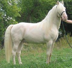 Tennessee+Walker | cremello-tennessee-walking-horse.jpg