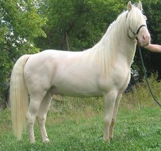 Tennessee+Walker | cremello-tennessee-walking-horse.jpg
