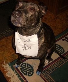 """""""I ate a pen."""" I guess it was a BLUE pen. :) ~ Dog Shaming -  pen eater  Pit Bull"""