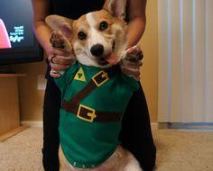 Corgi dressed up as Link