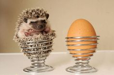 A hedgehog in an egg cup!