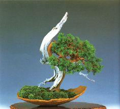 Shimpaku Juniper bonsai with extended Shari