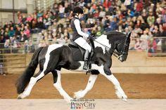 Orca Pinto Friesian Cross Stallion at Stud by UKO (Friesian) in Washington on PonyCity.com Equine