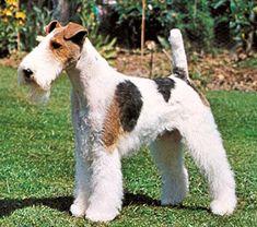 Estilo Canino razas: Fox Terrier