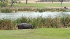Hippo at skukuza golf course