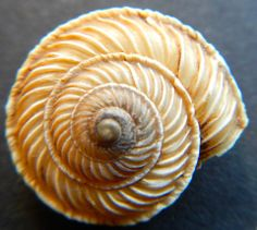 Davide Castelli -- not sure which type of shell this is - perhaps a top or a sundial?